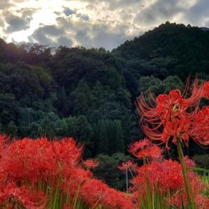 彼岸花が満開です『葛城一言主神社』