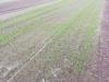 土壌改善用ソルガムと菊芋