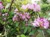 最後に咲く花シャクナゲ