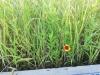 利根川堤防の雑草