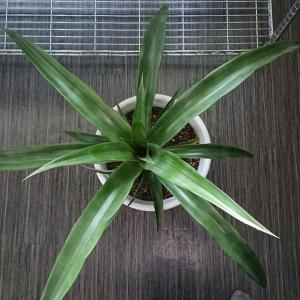 種から育てる パイナップル 第16話