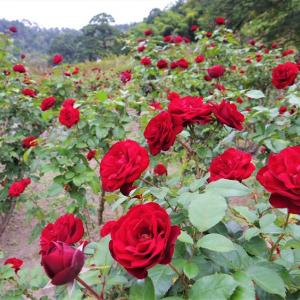 真っ赤な薔薇の園。