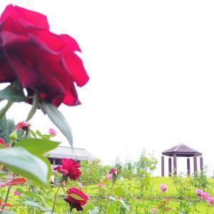 薔薇の丘にて。
