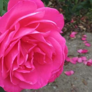 マゼンタ色の薔薇。