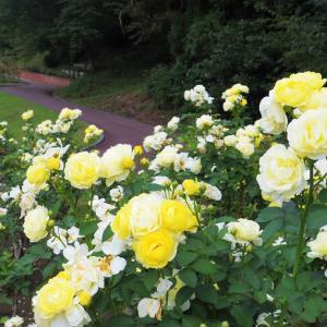 クリーム色の薔薇もよう。