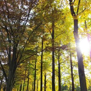 黄葉の林。