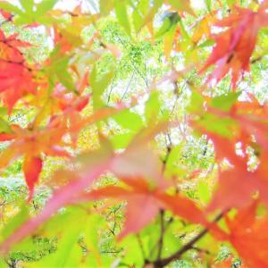 紅葉、青楓。