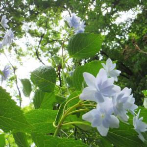 アイスブルーの星花。
