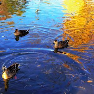 水面の銀杏、水鳥の休息。