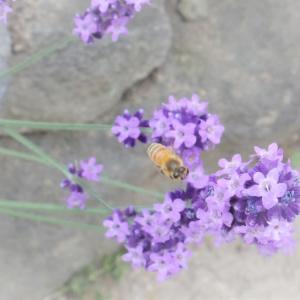 6月の紫に蜜蜂。