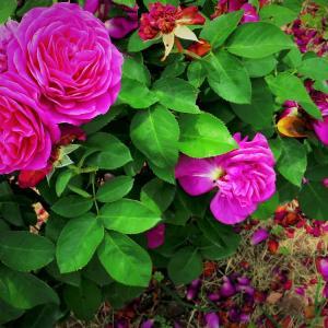 マゼンタ色の薔薇模様。