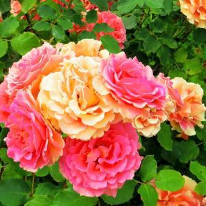 レトロ薔薇風景。