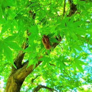 青楓に空蝉。