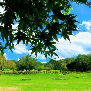 晩夏の高原、青楓と青い空。