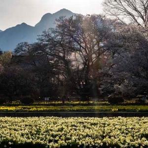 昨年の神代桜