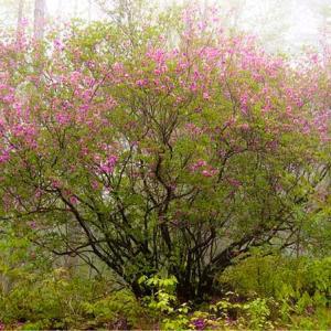 八千穂高原のトウゴクミツバツツジ見に行きたいなあ