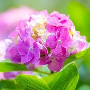 我が家のアジサイも色付いて真花が咲き出した