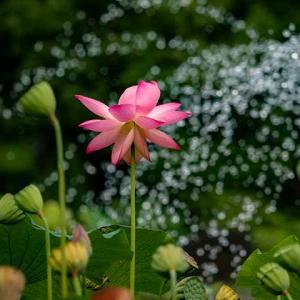 蓮の花の寿命は?