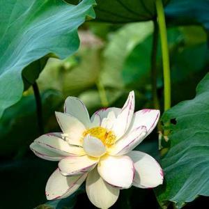 天竺斑蓮が咲いた
