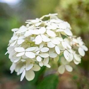 時季外れのアジサイの花が咲いてる
