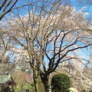 「雲居寺のしだれ桜」が満開に!