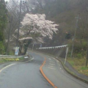 南沢水源の桜!