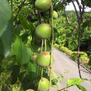 梅の実が熟してきました。