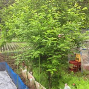 実生で育った山椒の木!