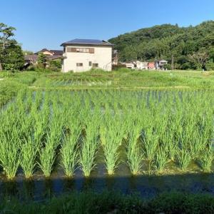 稲がスクスクと伸びています。
