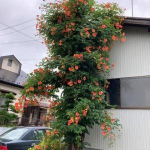 ノーゼンカズラ(凌霄花)の花!