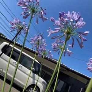 アガパンサスの花!