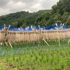 稲の掛け干しが始まりました。