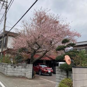 冬桜でしょうか・・・