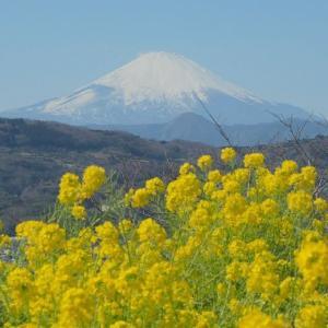 早咲きの菜の花が!