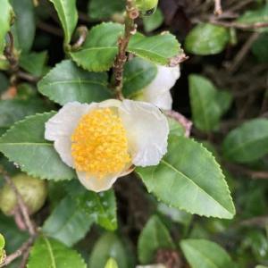お茶の白い花!