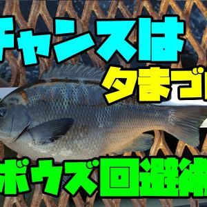 夕まづめ終了間際にメジナ30UP!! /磯子海釣り施設