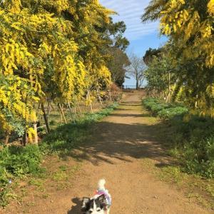 春のハーブ園・ミモザと菜の花
