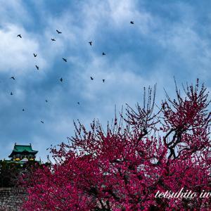 大阪城公園梅林撮影...2020...