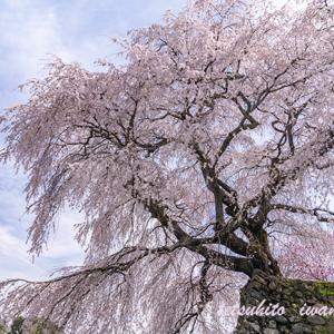 奈良・又兵衛桜。。。