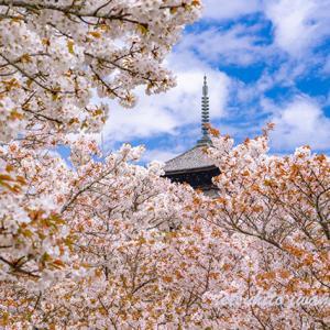 京都仁和寺御室桜満開...