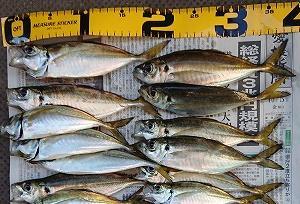 アジのサビキ釣り 愛媛県松山市で20㎝アジが入れ食いに!