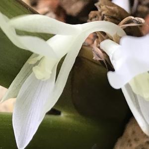 カラテア オルビフォリアが開花しました。透き通っています