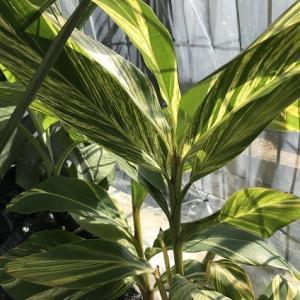 黄斑月桃 地植え越冬チャレンジ