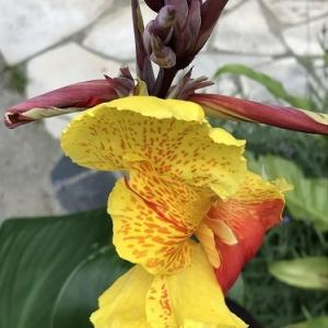 カンナ・クレオパトラの花はフラメンコドレスのように情熱的な色彩