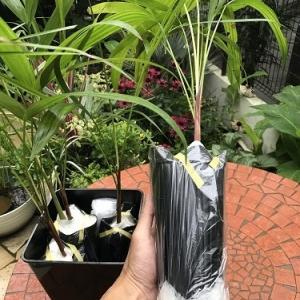 Dypsis baronii シュガーケンパームを立派に育てるのだと、野望を抱く!