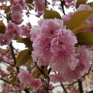 桜の写真、みせて!今年も花見に行きたい!わくわく企画中♪