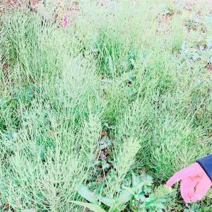 デトックス力の高い、春の野草。
