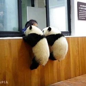 新しいパンダが来たってΣ( ̄皿 ̄;;