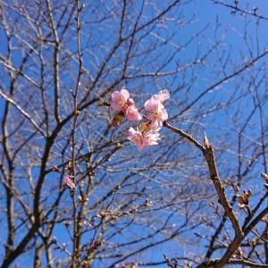 青野原オートキャンプ場の河津桜