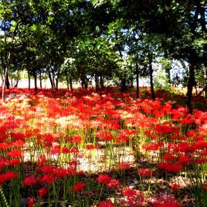 9月頃の花見『彼岸花(曼珠沙華)』